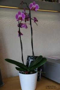 meine orchidee woche 2 marinas welt. Black Bedroom Furniture Sets. Home Design Ideas