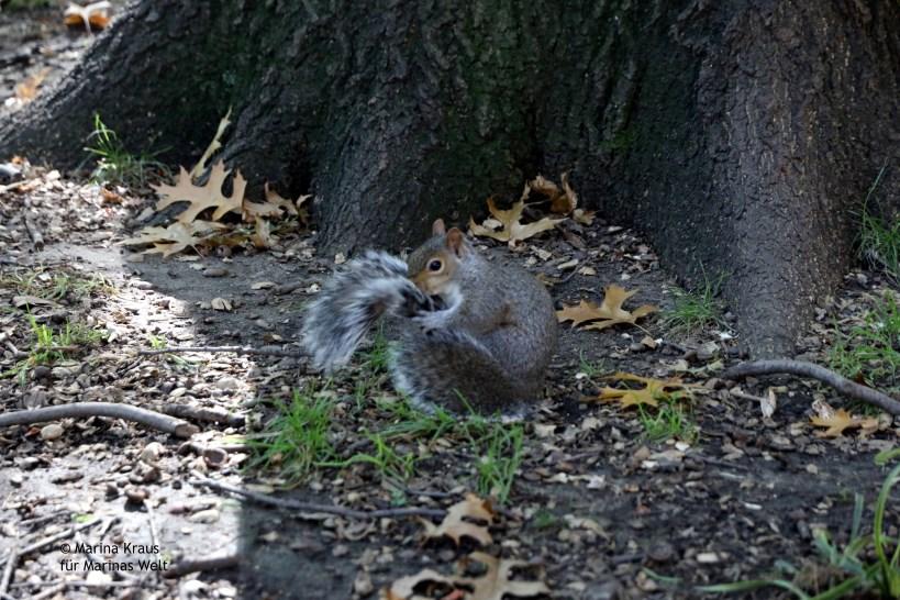 Eichhörnchen_Washington Square Park_01