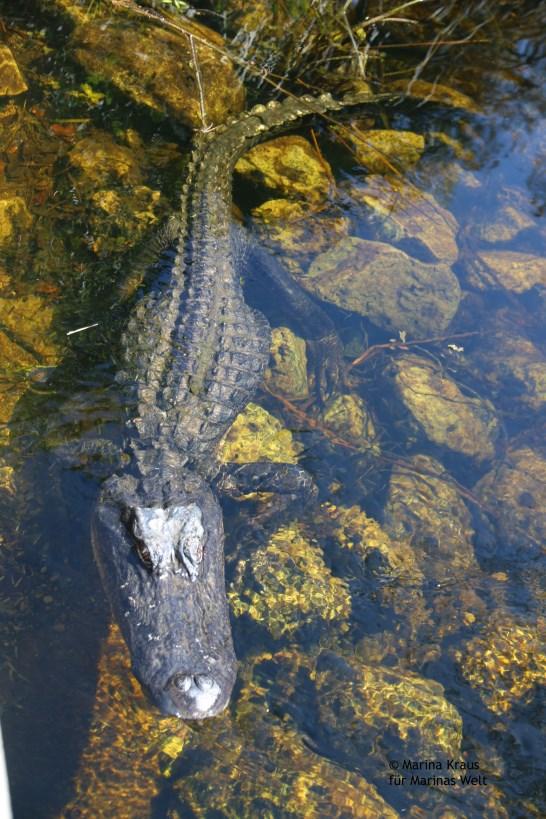 Big Cypress National Park_Alligator_02