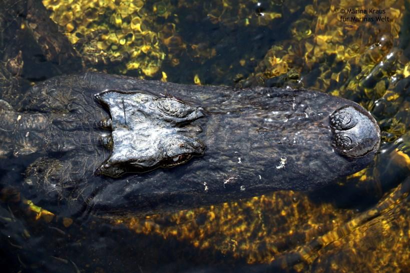 Big Cypress National Park_Alligator_03