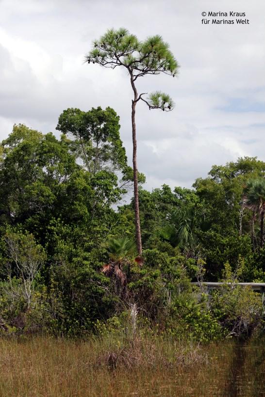 Everglades_06
