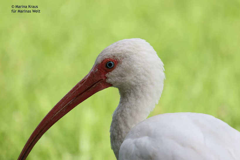 Everglades_American White Ibis