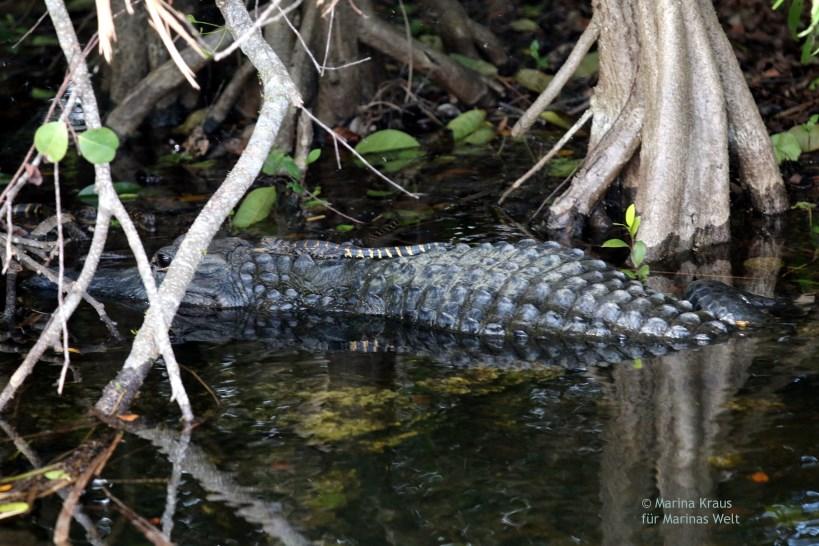 Shark Valley_Everglades_Alligator mit Baby