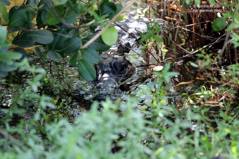 Shark Valley_Everglades_Alligator