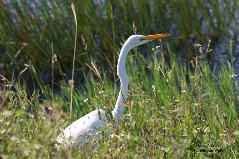 Shark Valley_Everglades_Great Egret