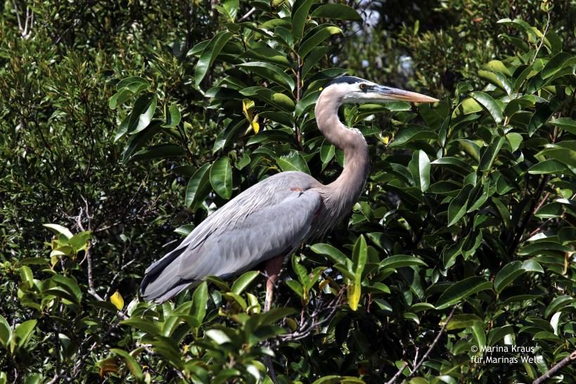Shark Valley_Everglades_Great blue haron