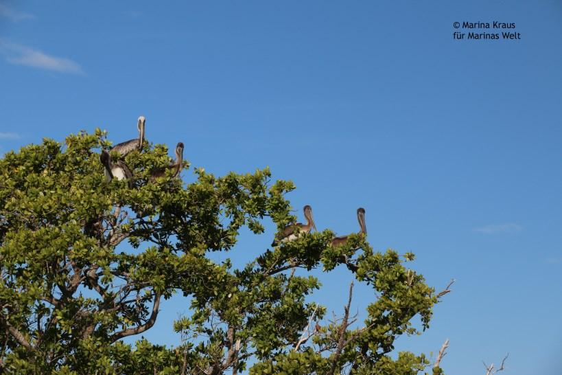 Ten Thousand Islands_Brown Pelicanes